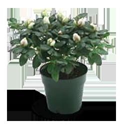 azalea-size-4.5inch