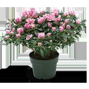 azalea-size-6inch