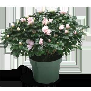 azalea-size-7inch