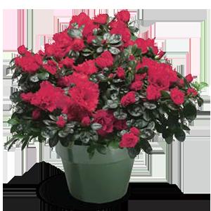 azalea-size-jumbo7