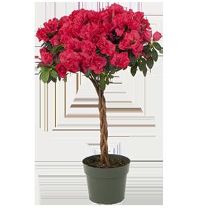 Azalea 6 Tree