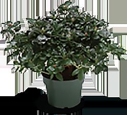 Azalea Flower Stage 0