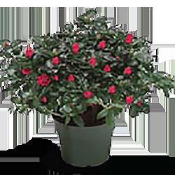 Azalea Flower Stage 1