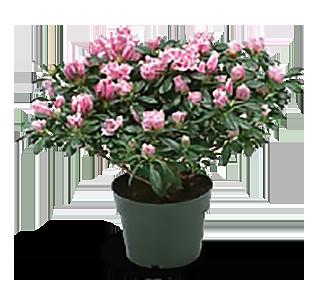 Azalea Flower Stage 1+